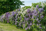 Hedge with white and purple lilac in summer sunlight