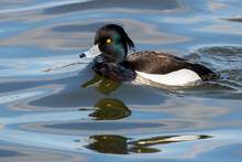 Tufted Duck Aythya Fuligula Male Swimming On Water With Multiple Reflections. Cute Funny Drake In Psychedelic Surrounding. Bird In Wildlife.