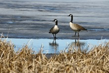 Spring Coming, Couple Canadian Geese ( Branta Canadensis) Near Their Nesting Area