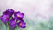 Beautiful Nature Spring Background With Crocus Flowers