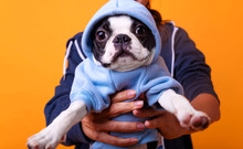 Boston Terrier In Cute Hoodie Sweater.Funny Studio Portrait Of The Smilling Puppy French Bulldog. Dog Studio Portrait, Looking At Camera.
