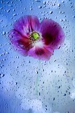 Poppy Flower And Light Bokeh B...