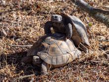 Common Tortoise (Testudo Graec...