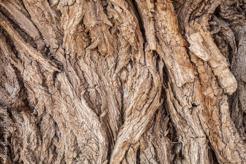 Fototapety, obrazy: Texture of Very Old Willow Tree