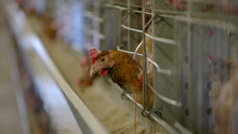 Hen Inside A Cage. Domestic Bird In Henhouse. Best Conditions For Breeding Poultry. Farm Sells Healthy Chickens.