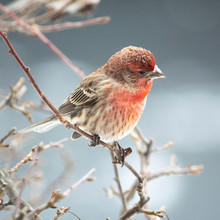 House Finch On Branch In Winter