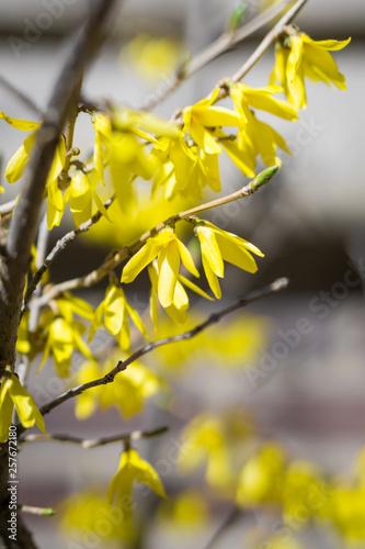 Yellow forsythia branch in spring