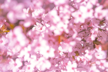 Blooming tree with white, pink flowers in morning sunshine and shadow, blurred sunlight. Soft focus. Spring blossom flower background. Easter sunny day.