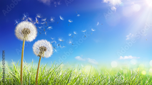 Poster de jardin Pissenlit Dandelions With Wind In Field - Seeds Blowing Away Blue Sky