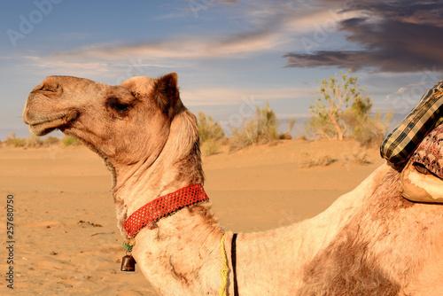 Fototapety, obrazy: camel in dunes of Thar desert, Jaisalmer, Rajasthan, India