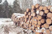 Pile Of Deforested Pine In Win...
