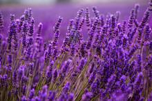 Close Up Bushes Of Lavender Pu...