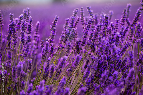 Obraz Close up Bushes of lavender purple aromatic flowers - fototapety do salonu