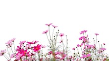 Cosmos Flower And Green Stalk ...