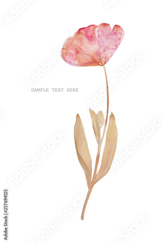Wallpaper Mural Pressed and dried tulip flower on a white background