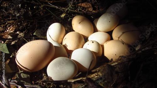 La pose en embrasure Poules Oeufs de poules dans leur nid