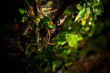 Green Leaves In Evening Sunlight