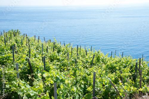 Leinwand Poster Vignes entre terre et mer, Cinque Terre, Italie.