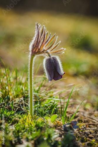 Fotografia  Fragile wind flower, meadow anemone, pasque flower with dark purple cup like flo