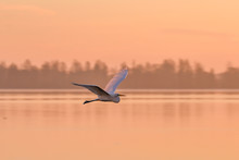 Great White Egret At Dawn Flying Over The Water