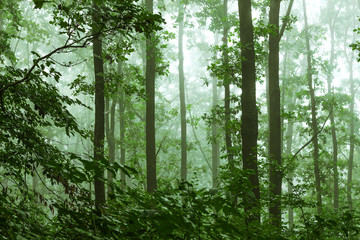 Mystic Forest. Misty morning in dense forest_