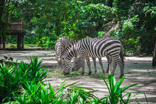 Zebras Eating In Singapore Zoo