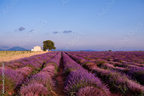 Foto auf AluDibond Hochrote old brick house and lonely tree at lavender field