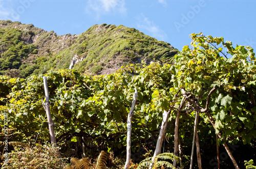 Fotografia  Weinberge bei Seixal auf Madeira