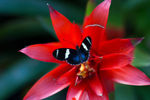Dorsal View Of Sara Longwing Butterfly Resting On A Red Bromeliad In Soft Focus Background