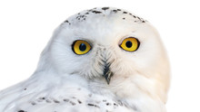 White Snowy Owl With Yellow Ey...