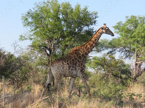 Photo  giraffe in africa