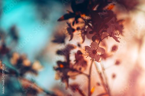 Fotobehang Kersenbloesem Wild cherry tree blossom in spring morning