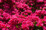 Beautiful full bloom colorful Indian Azaleas ( Rhododendron simsii ) flowers in springtime sunny day at Ashikaga Flower Park, Tochigi prefecture, Japan