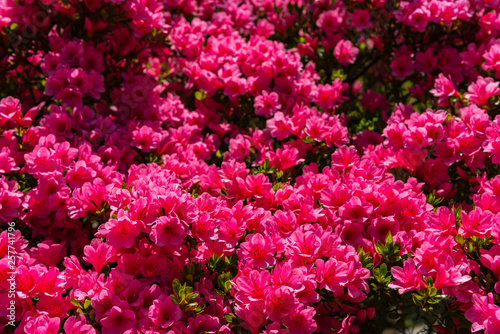 Garden Poster Azalea Beautiful full bloom colorful Indian Azaleas ( Rhododendron simsii ) flowers in springtime sunny day at Ashikaga Flower Park, Tochigi prefecture, Japan