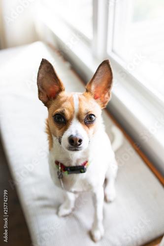 Fototapeta Terrier Mix Dog obraz na płótnie