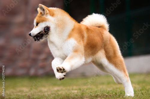 Japanese Akita Inu Dog For A Walk Buy This Stock Photo And