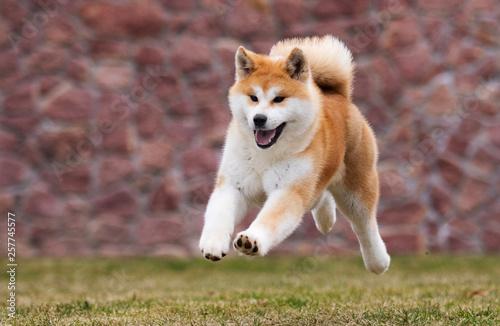 Photo active japanese akita inu dog runs for a walk