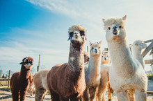 Group Of Cute Alpacas In Outsi...