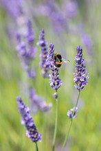 A Bee On A Lavender Flower, On A Warm Summers Day