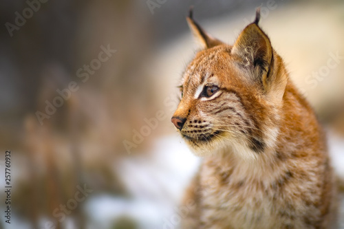 Close-up of eurasian lynx in the forest at early winter