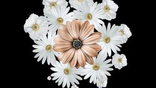 Animation Of Realistic White Daisies Moving Around With A Large Brown Flower In The Center. Black Background.