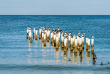 Naples Florida Old Pier Pilings In Gulf Of Mexico With Wooden Jetty Many Birds Pelicans And Cormorants By Ocean On Beach