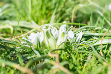Spring Flowering Of White Ornithogalum Umbellatum (star Of Bethlehem, Grass Lily, Nap At Noon, Eleven O Clock Lady). White Flowers For Garden Decoration.