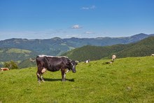 Green Meadow In Mountains And Cows