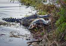 Alligator With A Turtle In Its Mouth