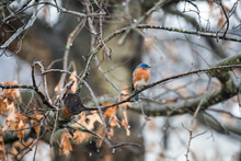 Blue Male Bluebird Bird Perched On Oak Tree During Winter Spring Autumn In Virginia With Vibrant Color And Rain Drops