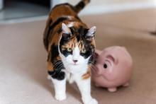 Funny Cute Female Calico Cat W...