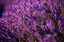 Close Up Bushes Of Lavender Purple Aromatic Flowers