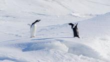 Pair Of Arguing Adelie Penguins