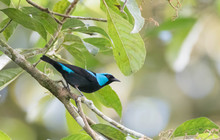Beautiful Scarlet-thighed Dacnis (Dacnis Venusta) Male On A Tree Branch